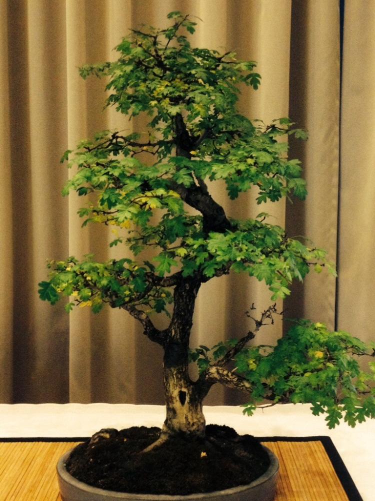 Steve Lee dei Gotthard - mostra di quadri e bonsai in suo onore (2/6)