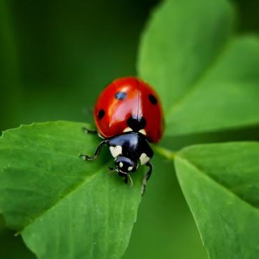 ladybug_on_clover_sq_crop.jpg